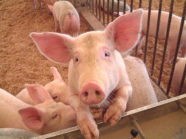 豚が人間のうんこである人糞を食べるというのは本当の話か?[雑学tags] 2